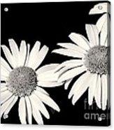 Three Daisy Amigos Acrylic Print
