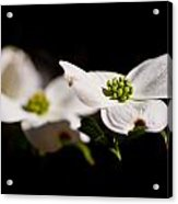 Three Dogwood Blossoms On Black Acrylic Print