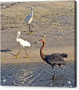 Three Egrets Acrylic Print