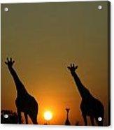 Three Giraffes Stand At Sunset Acrylic Print
