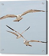 Three Gulls Acrylic Print