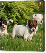 Three Jack Russell Terrier Puppies Acrylic Print