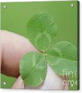 Three Leaf Clover In A Hand Acrylic Print