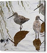 Three Long Billed Dowitchers Acrylic Print