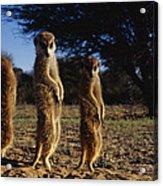 Three Meerkats With Paws Poised Neatly Acrylic Print