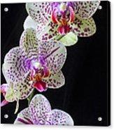 Three Orchids Acrylic Print