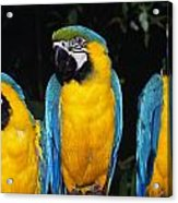 Three Parrots Acrylic Print
