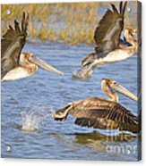 Three Pelicans Taking Off Acrylic Print