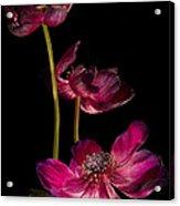 Three Purple Anemones Acrylic Print