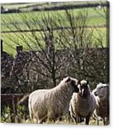 Three Sheep In A Field With Stone Acrylic Print
