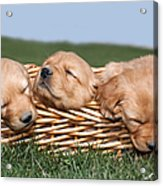 Three Sleeping Puppy Dogs In Basket Acrylic Print