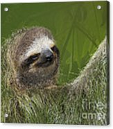 Three-toed Sloth Acrylic Print by Heiko Koehrer-Wagner