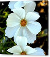 Three White Flowers Acrylic Print