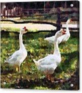 Three White Geese Acrylic Print