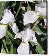 Three White Iris Acrylic Print