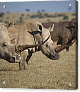 Three White Rhinos Line Up In Solio Acrylic Print