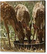 Three White-tailed Deer Fawns Acrylic Print