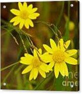 Three Yellow Amigos  Acrylic Print