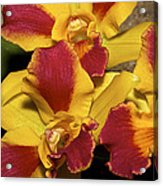 Three Yellow And Red Orchids Acrylic Print