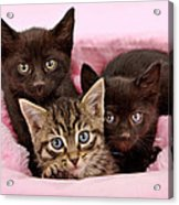 Threee Kittens In A Pink And White Basket Acrylic Print
