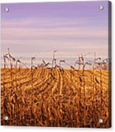 Through The Cornfield Acrylic Print
