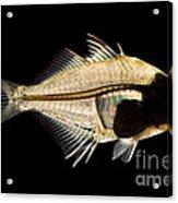 Tibetan Glassfish Acrylic Print
