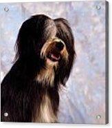 Tibetan Terrier Acrylic Print