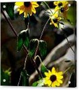 Tickseed Sunflowers Acrylic Print