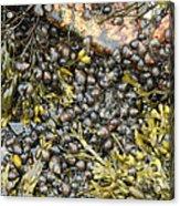 Tidal Pool With Rockweed Acrylic Print