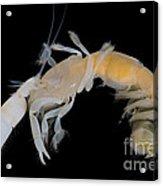 Tidepool Ghost Shrimp Acrylic Print