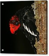 Tidying Up - Magellanic Woodpecker Preening Acrylic Print