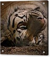 Tiger 3 Acrylic Print