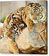 Tiger And Cub Acrylic Print
