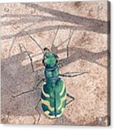 Tiger Beetle Acrylic Print