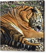 Tiger Behavior Acrylic Print