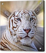 Tiger Blur Acrylic Print
