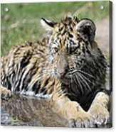 Tiger Cub In A Puddle Acrylic Print