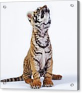 Tiger Cub (panthera Tigris) Looking Up, Against White Background Acrylic Print