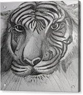 Tiger Face Acrylic Print