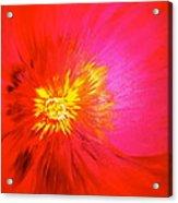 Tiger Flower.. Acrylic Print