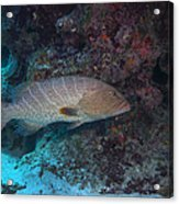 Tiger Grouper Swimming Along The Bottom Acrylic Print