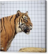Tiger In Captivity Acrylic Print by Linda Wright