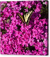 Tiger In The Phlox 5 Acrylic Print