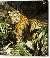 Tiger In The Rough Acrylic Print