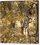 Tiger In The Undergrowth At Ranthambore Acrylic Print