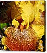 Tiger Iris Acrylic Print