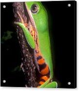 Tiger Leg Monkey Frog Acrylic Print