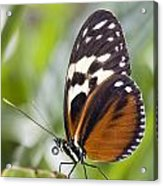 Tiger Longwing Butterfly Heliconius Acrylic Print