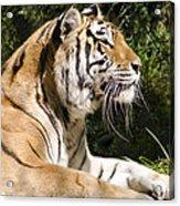 Tiger Observations Acrylic Print