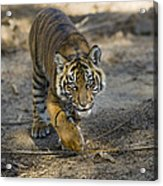 Tiger Panthera Tigris Cub, Native Acrylic Print